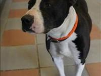 Pit Bull Terrier - Lily - Medium - Adult - Female -
