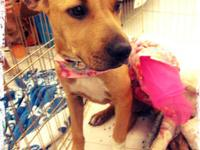 Pit Bull Terrier - Lily - Medium - Young - Female -