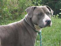 Pit Bull Terrier - Link - Medium - Adult - Male - Dog