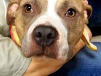 Pit Bull Terrier - Lola - Medium - Adult - Female -