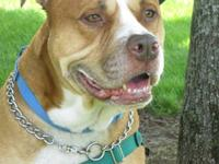 Pit Bull Terrier - Lucky - Medium - Adult - Male - Dog