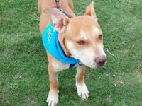 Pit Bull Terrier - Lucky Too - Medium - Young - Male -