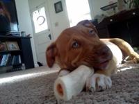 Pit Bull Terrier - Lucy - Medium - Baby - Female - Dog