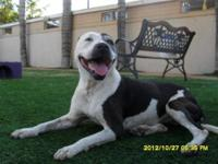 Pit Bull Terrier - Lucy - Medium - Young - Female -
