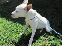Pit Bull Terrier - Mabel - Medium - Adult - Female -