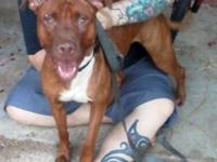 Pit Bull Terrier - Macey - Medium - Young - Female -