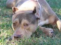 Pit Bull Terrier - Mae Mae - Large - Adult - Female -
