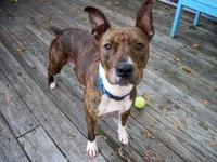 Pit Bull Terrier - Maggie - Large - Adult - Female -