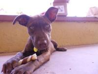 Pit Bull Terrier - Maggie Mae - Medium - Baby - Female