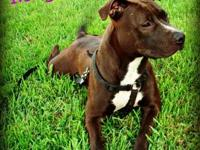 Pit Bull Terrier - Maggie - Medium - Adult - Female -