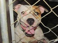 Pit Bull Terrier - Majick - Medium - Adult - Male -