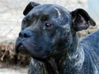 Pit Bull Terrier - Mama Grace - Large - Adult - Female