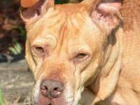 Pit Bull Terrier - Mama - Medium - Adult - Female -