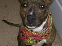 Pit Bull Terrier - Manchester - Medium - Adult - Male -
