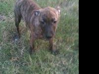 Pit Bull Terrier - Mandy - Medium - Young - Female -