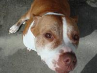 Pit Bull Terrier - Marcie - Medium - Adult - Female -