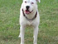 Pit Bull Terrier - Marley - Medium - Adult - Male -