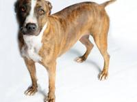 Pit Bull Terrier - Mary - Medium - Adult - Female -