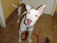 Pit Bull Terrier - Maya - Large - Baby - Female - Dog