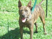Pit Bull Terrier - Me Michael - Large - Adult - Male -