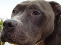 Pit Bull Terrier - Merica - Large - Adult - Female -