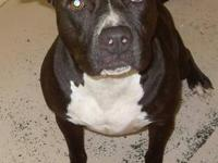 Pit Bull Terrier - Mia - Large - Adult - Female - Dog