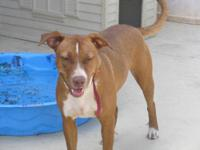 Pit Bull Terrier - Miami - Medium - Young - Female -