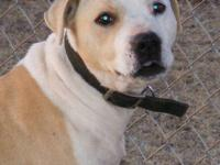 Pit Bull Terrier - Midge - Medium - Adult - Female -