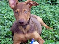 Pit Bull Terrier - Milo - Medium - Young - Male - Dog