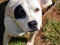 Pit Bull Terrier - Miracle~sponsored! - Large - Adult -
