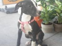Pit Bull Terrier - Miranda-foster Needed - Medium -
