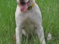 Pit Bull Terrier - Missy - Large - Young - Female -