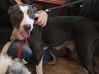 Pit Bull Terrier - Molly - Medium - Young - Female -