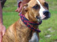 Pit Bull Terrier - Ms. Jumbo - Large - Adult - Female -