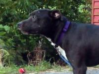 Pit Bull Terrier - Mya - Large - Young - Female - Dog