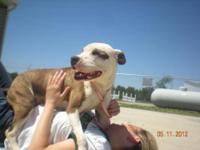 Pit Bull Terrier - Naomi - Medium - Young - Female -
