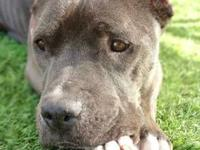 Pit Bull Terrier - Nell - Small - Young - Female - Dog