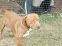 Pit Bull Terrier - Nelson - Large - Adult - Male - Dog