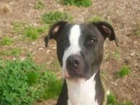 Pit Bull Terrier - Nicholas - Medium - Young - Male -