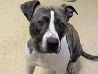 Pit Bull Terrier - Nina - Large - Adult - Female - Dog