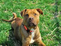 Pit Bull Terrier - Noki - Medium - Adult - Male - Dog