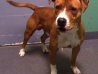 Pit Bull Terrier - Oakley - Medium - Adult - Male -