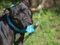 Pit Bull Terrier - Ollie (c) - Medium - Adult - Male -