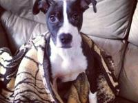 Pit Bull Terrier - Oreo - Medium - Young - Male - Dog
