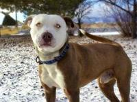 Pit Bull Terrier - Owen - Medium - Young - Male - Dog