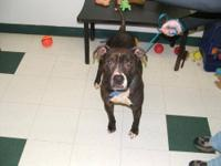 Pit Bull Terrier - Oxley - Large - Young - Male - Dog