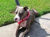 Pit Bull Terrier - Paige - Transported Out-of-state Due