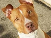 Pit Bull Terrier - Parker - Large - Young - Male - Dog