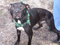 Pit Bull Terrier - Parker - Medium - Young - Male -