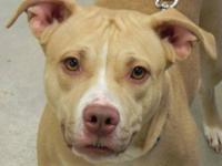 Pit Bull Terrier - Pasha - Large - Adult - Female -